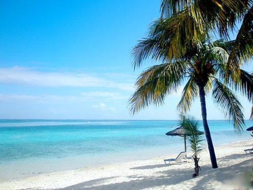 Mauritius palm tree