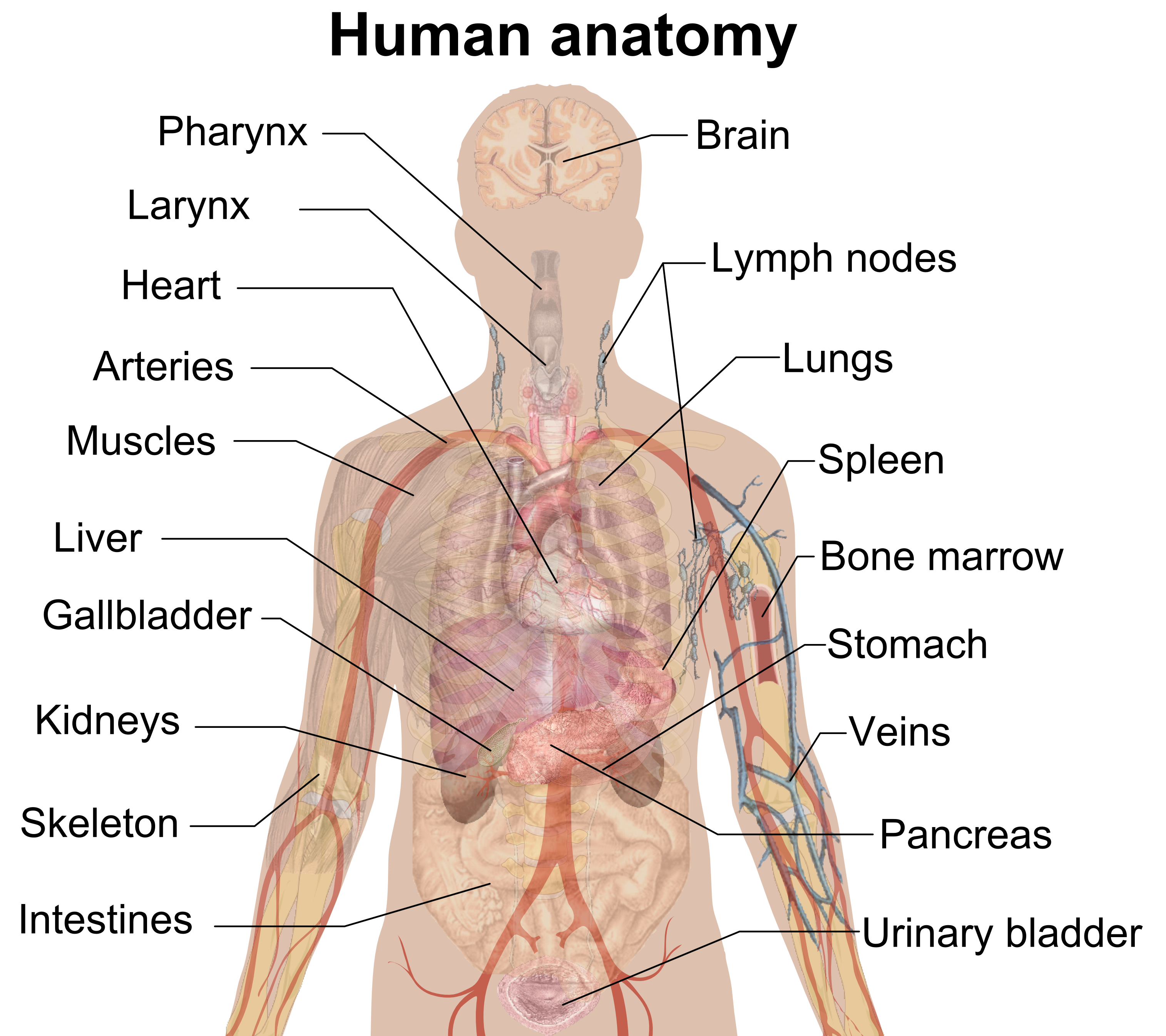 What Do You Learn In Anatomy Images Human Body Anatomy